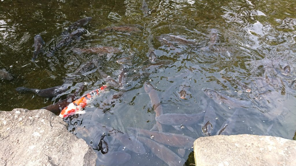 せせらぎ緑地公園の鯉