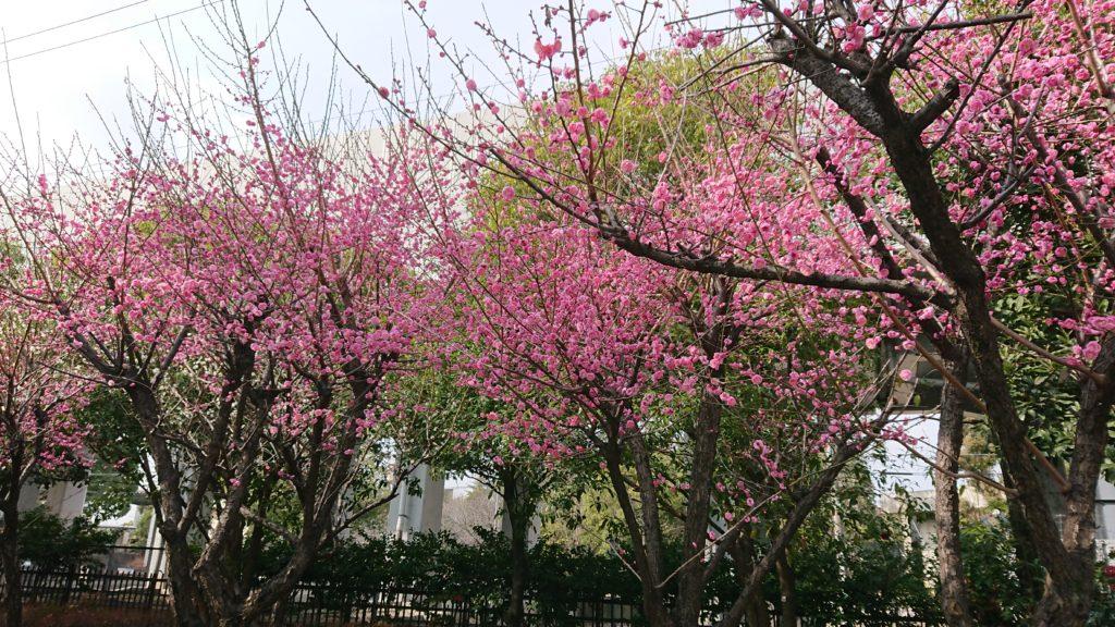 せせらぎ緑地公園の梅