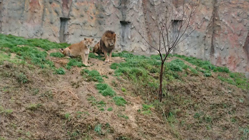 みさき公園のライオン