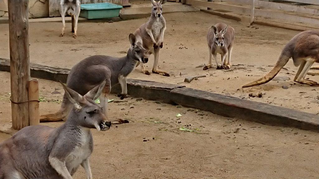 みさき公園のカンガルー
