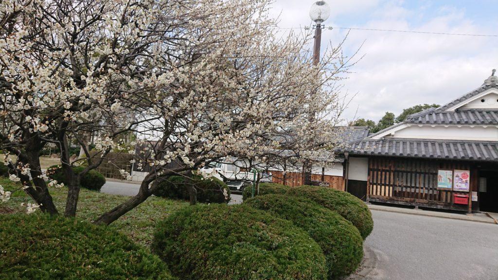 高槻城跡公園の梅