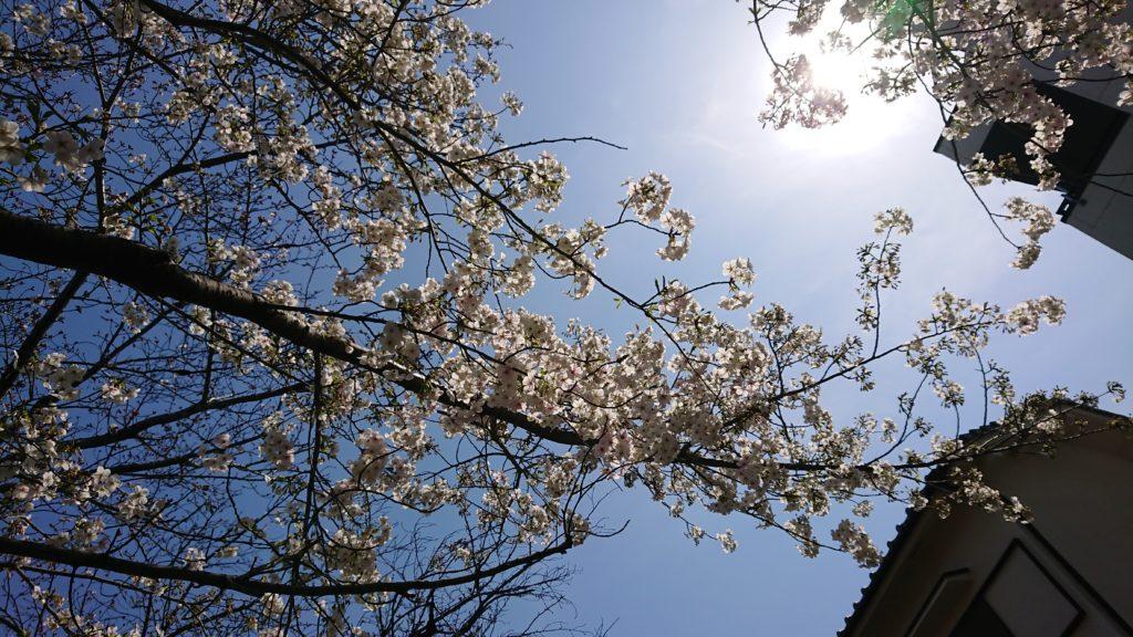 富田支所の桜