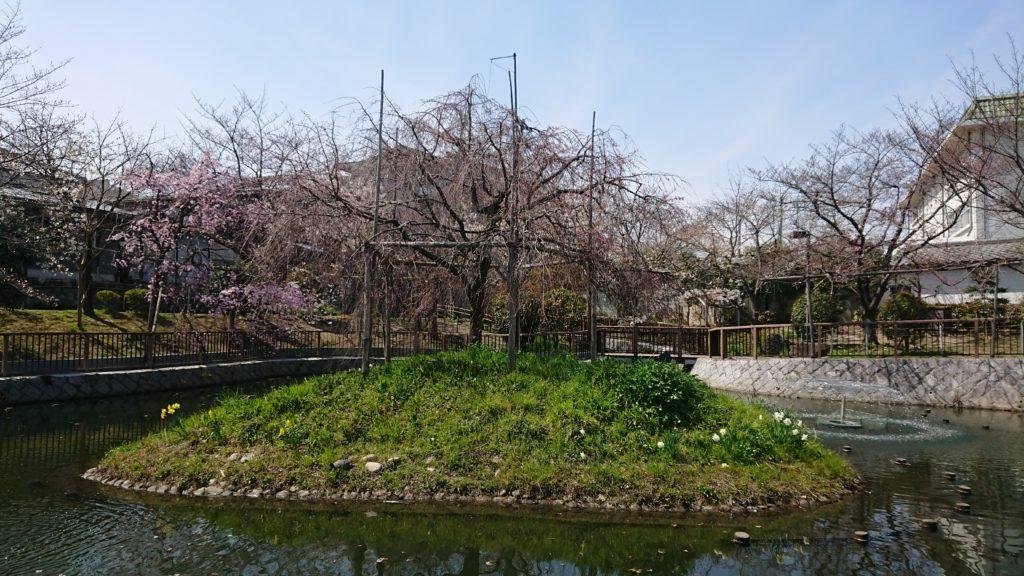 高槻富田の筒井池のしだれ桜