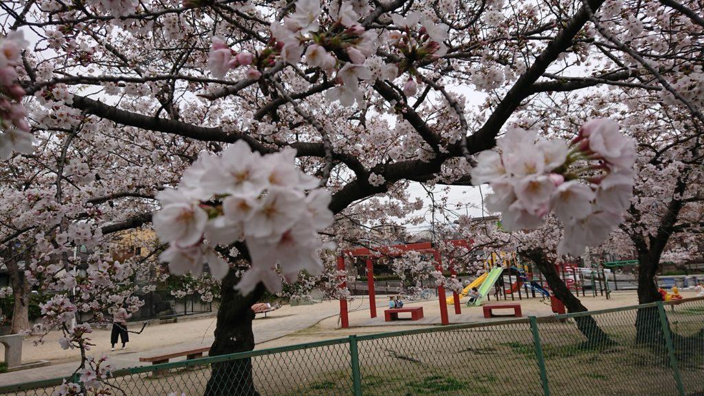 筒井池公園の桜