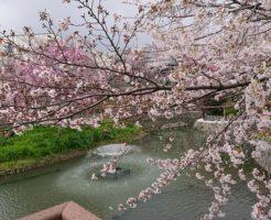 高槻富田の筒井池の桜