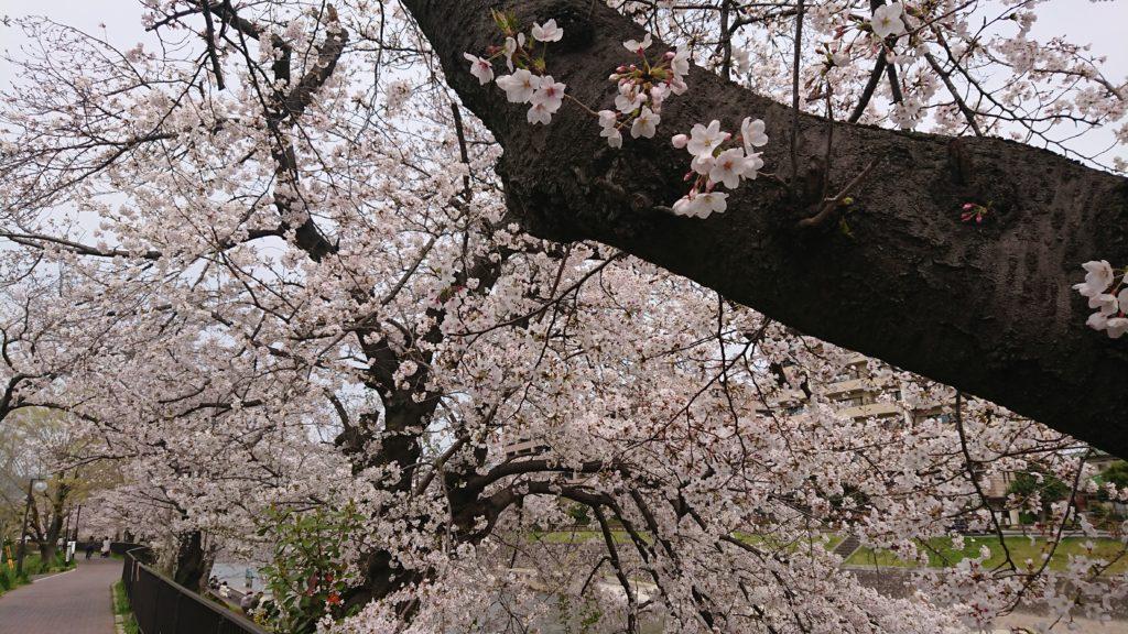 芥川の桜堤公園の桜