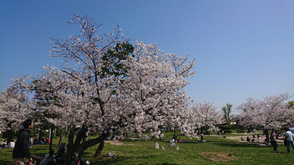 高槻の城跡公園の桜