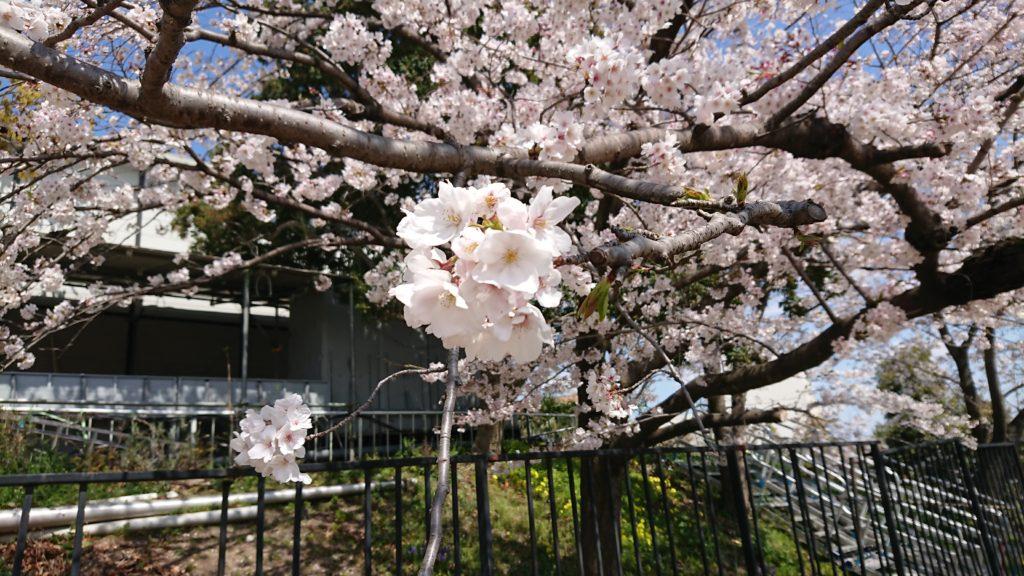 今城塚古墳公園の桜