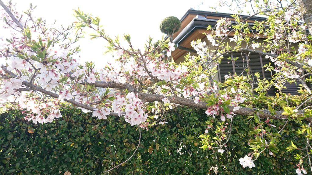 登美の里町の桜