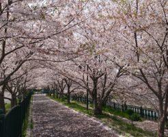 高槻の玉川の桜