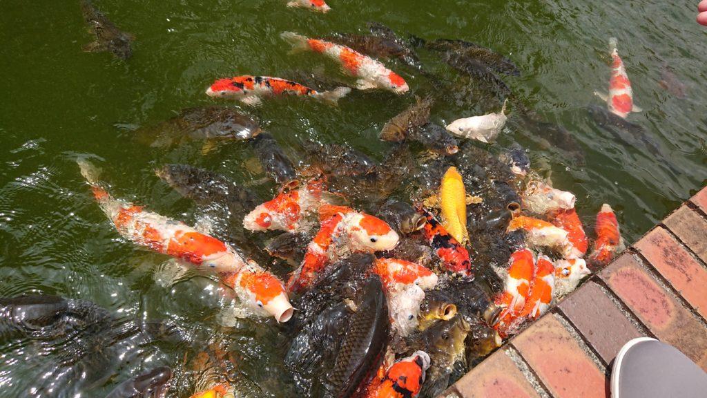 神戸フルーツフラワーパークの錦鯉