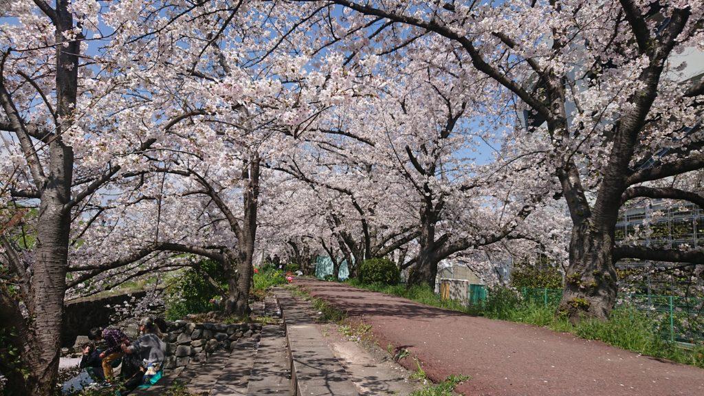 新川さくら堤の桜