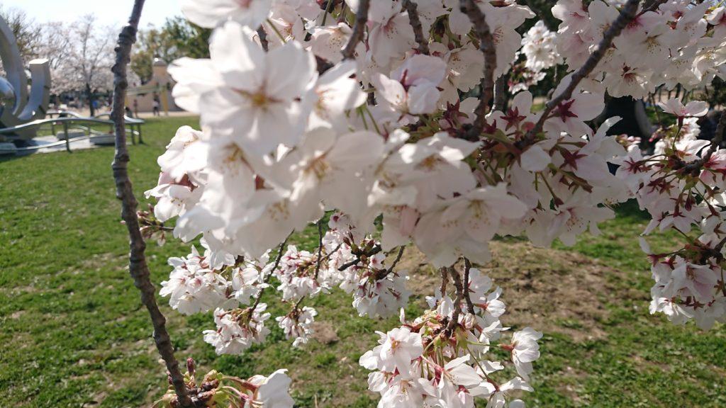 高槻城跡公園の桜